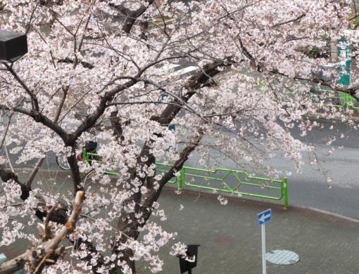 奥野講座「桜尽くし」